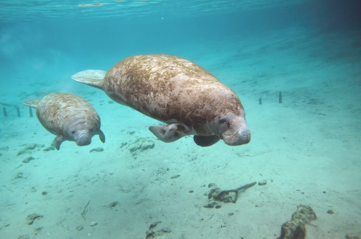 Manatee And calf swimming underwater