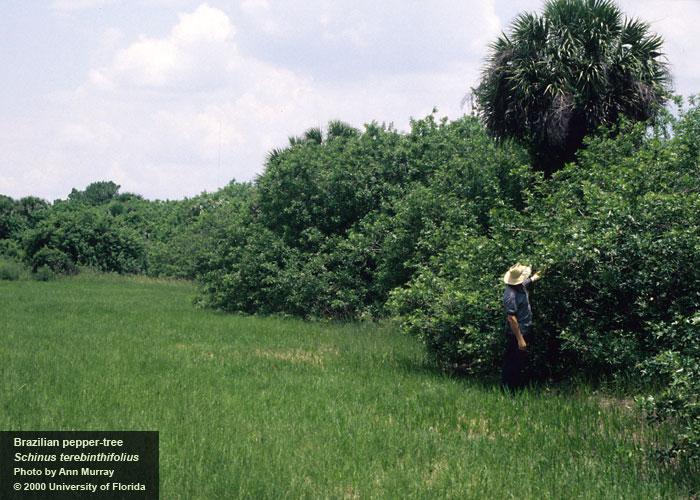 Brazilian Pepper Tree IFAS