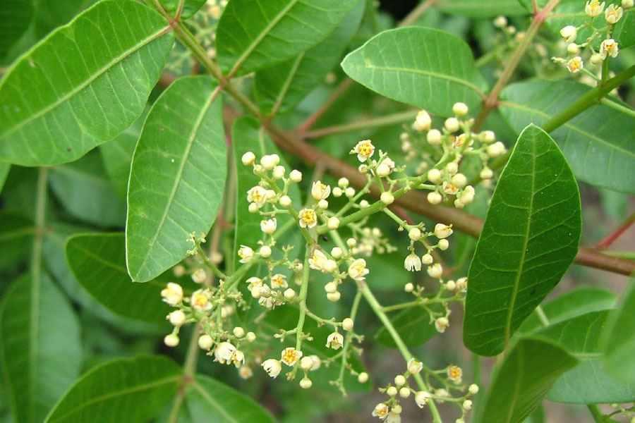 Brazilian Pepper Tree White Flowers Credit Sheldon Navie