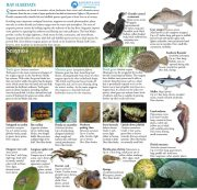 Field Guide Bay Habitats Seagrasses