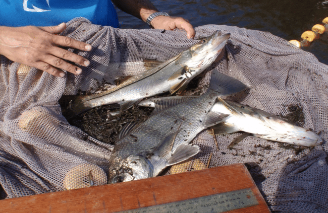 Fish Caught During Tidal Creek Study