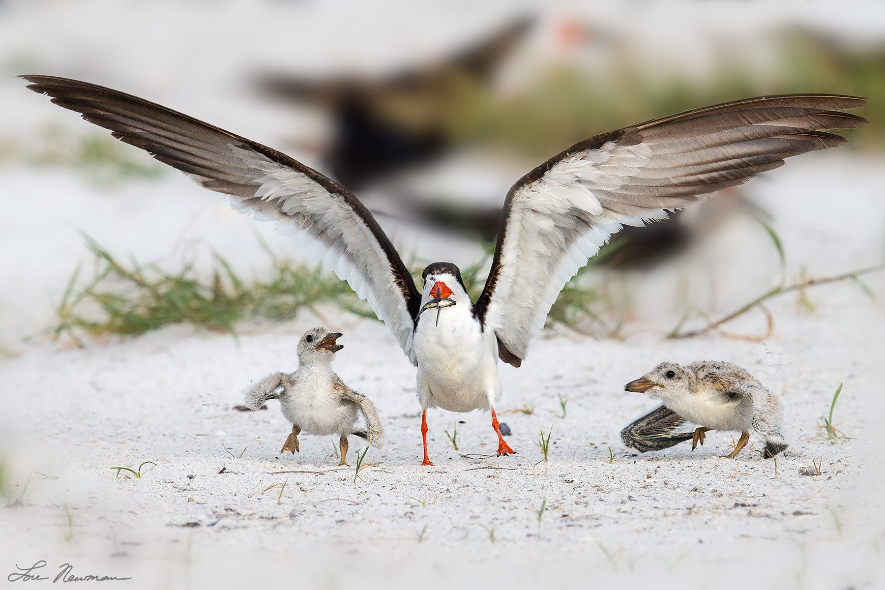 Skimmers And Baby on the sand