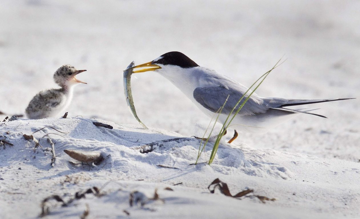 Tern and Baby by L Newman