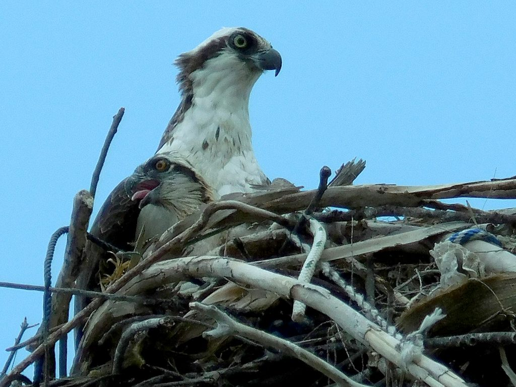 Mom and Baby Osprey in nest