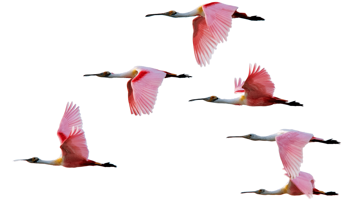 Roseate Spoonbills flying together by Lou Newman