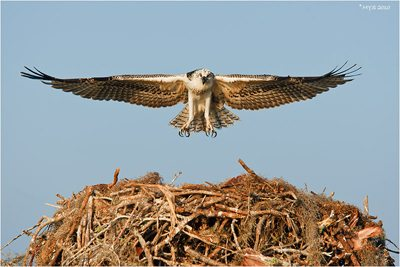 Osprey flying to its nest