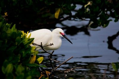 Snowy Egret in the mangroves